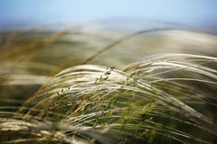 Feather grass field. Stock Photo