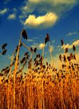 Feather grass in the field Stock Photography