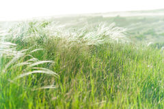 Feather-grass field Stock Images