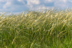 Feather grass field Stock Images