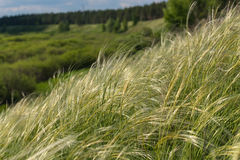 Feather grass field Royalty Free Stock Images
