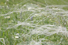 Feather grass on the field Stock Photo