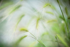 Feather grass. Fluffy feather in the summer Stock Photo
