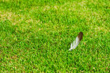 Feather on grass Stock Image