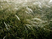 Feather grass grows on the hillside. Feather grass grows on the green hillside Royalty Free Stock Photos