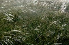 Feather grass grows on the hillside. Feather grass grows on the green hillside Royalty Free Stock Image