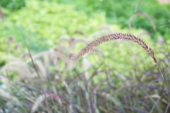 Feather Grass have blur green plant as background Royalty Free Stock Photo