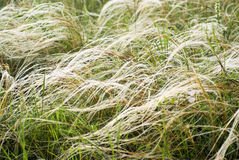 Feather Grass In Wind Stock Images