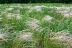 Feather grass, mat grass. swaying in the wind Stock Images