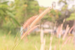 Feather Grass or Needle Grass, Nassell Royalty Free Stock Image