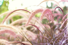 Feather Grass or Needle Grass Royalty Free Stock Photos