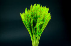 Feather Grass or Needle Grass, Nassella tenuissima isolated Stock Image