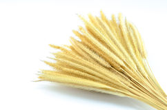 Feather Grass or Needle Grass, Nassella tenuissima isolated Stock Photography