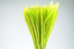 Feather Grass or Needle Grass, Nassella tenuissima  Royalty Free Stock Images