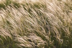 Feather Grass Royalty Free Stock Photography