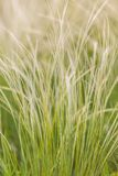 Feather Grass Royalty Free Stock Image