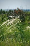 Feather grass on the open spaces of Russia royalty free stock photography