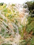 feather grass plant royalty free stock image
