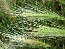 Feather-grass in raindrops Stock Photography