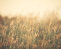 Feather grass spikes in the sunset light. - (Shallow of focus /. Vintage style stock images