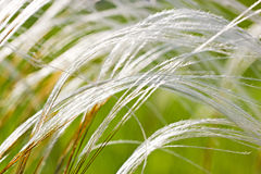 Feather grass in the steppe Stock Image