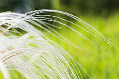 Feather grass in the steppe Stock Images