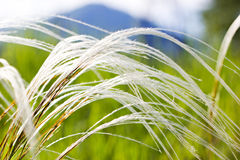 Feather grass in the steppe Royalty Free Stock Photography