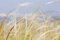 Feather grass (Stipa) Royalty Free Stock Images