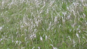 Feather-grass, stipa απόθεμα βίντεο