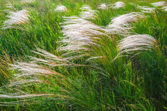 Feather grass at sunset in the field Royalty Free Stock Images