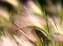 Feather grass Stock Photo