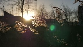 Feather Grass Swaying in Wind at Sunset stock video footage