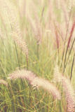 Feather grass vintage color Stock Photos