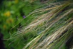 Feather grass, waving in the wind stock photo
