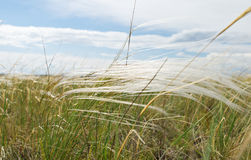 Feather grass in wind against blue sky Royalty Free Stock Photography