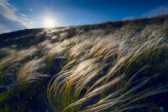 Feather grass in a wind Royalty Free Stock Image