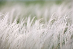 Feather grass in wind at sunset in the green field. Stock Image