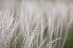 Feather grass in wind at sunset in the green field. Stock Photos