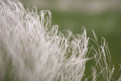 Feather grass in wind at sunset in the green field. Royalty Free Stock Photography