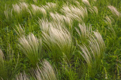 Feather grass in wind at sunset in the green field. Stock Photography