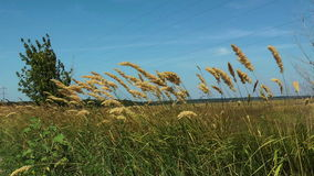Feather grass at a wind stock video footage