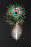 Feather of  Green Peafowl Stock Photo
