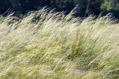 Feather hairlike  lat. Stipa capillata Stock Photos