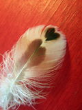 Feather with heart Stock Images