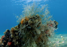 Feather Hydroid Stock Image