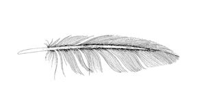 Feather ink sketch. Isolated on white background. Vector illustration for your design Royalty Free Stock Photography