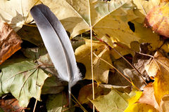 Feather on leaves. In the fall of a bird depart to the south Royalty Free Stock Photography