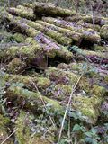 Feather-like moss fronds covering sawn logs stock photo