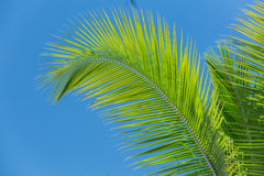 Feather looking fluffy palm leafs against blue sky Stock Photography
