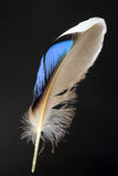 Feather of male Mallard Stock Photography